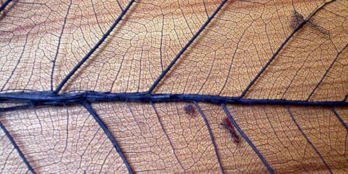 leaf veins texture