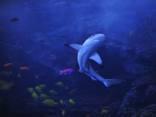 Reef Shark Photography