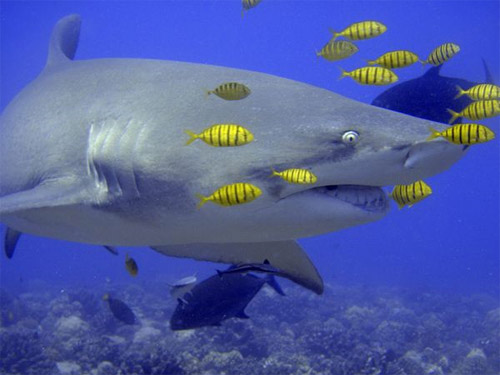 Lemon Shark Photography