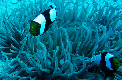 clown fish underwater photo