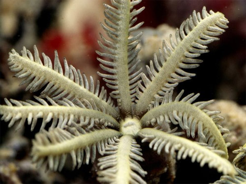 organ pipe coral photo