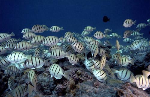 manini-underwater photo