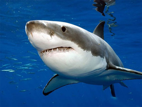 white shark photo