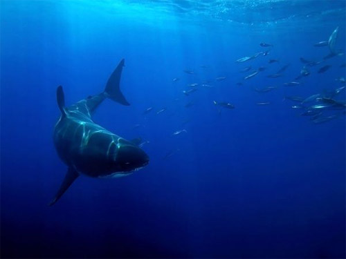 White Shark Lurks Photo