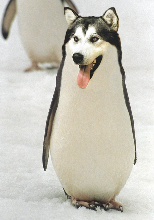 malamute penguin