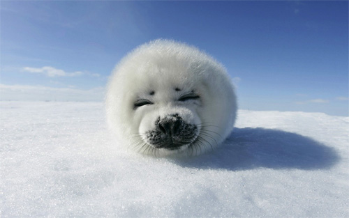harp seal wallpaper