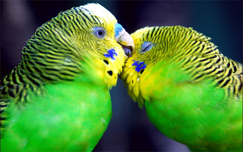 parrots bird wallpaper
