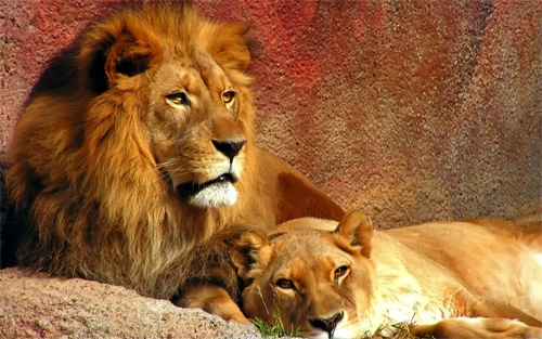 lion couple wallpaper