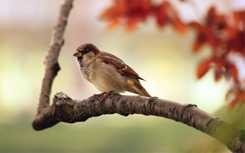 sparrow bird wallpaper