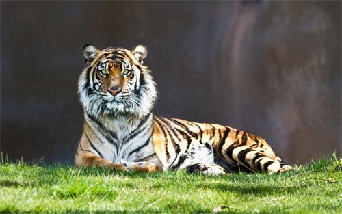 tiger the stare wallpaper