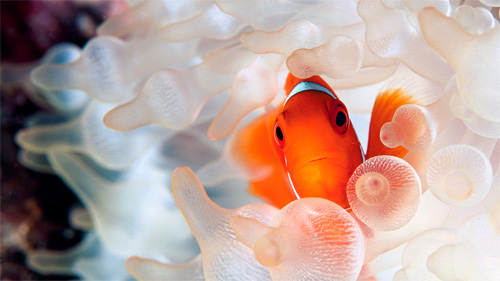 clownfish in anemone wallpaper