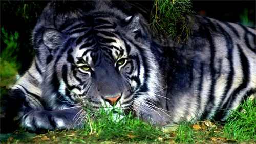 Maltese Tiger wallpaper