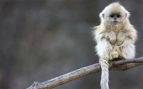 monkey animal wallpaper