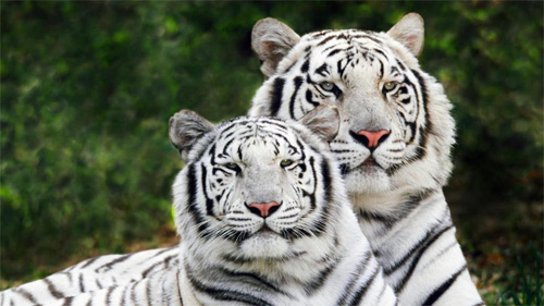 white tiger couple wallpaper