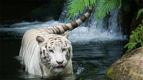 white tiger wet wallpaper