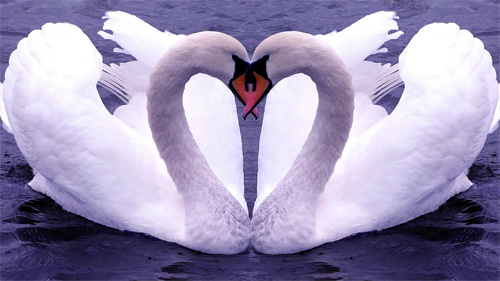 romantic swans wallpaper