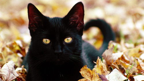 black cat in leaves wallpaper