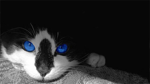 blue-eyed cat wallpaper