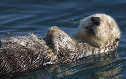 sea otter wallpaper