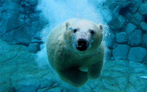 Swimming Polar Bear Wallpaper