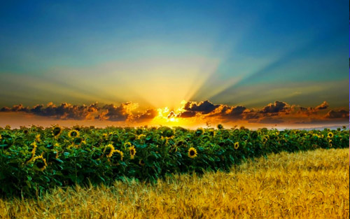 sunflower sunrise wallpaper