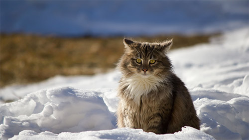 cat snow hd wallpaper