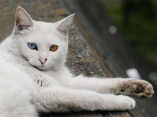 commander cat
