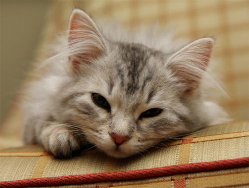sasha kitten