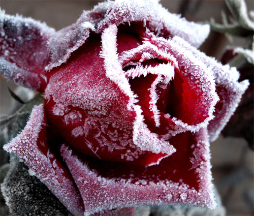 Frosted Rose