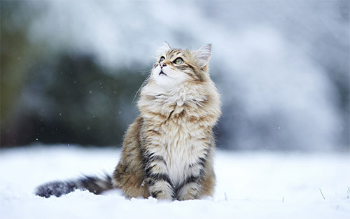 winter cat wallpaper