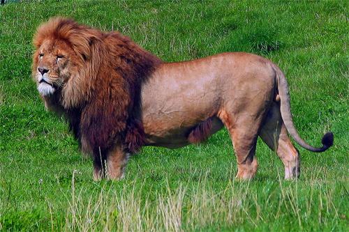 A Lion Photo