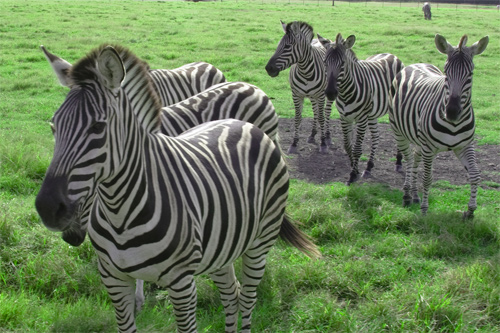 Zebras Everywhere