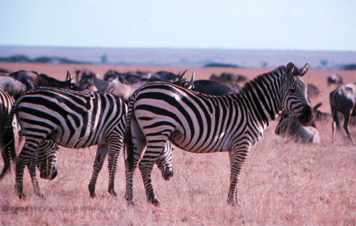 Zebras and the Wildebeest in the Masai Mara Game Reserve
