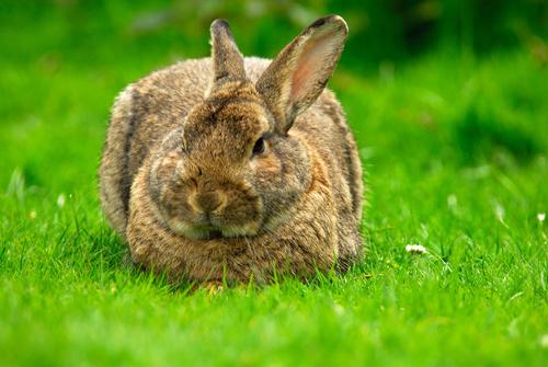 relaxed rabbit wallpaper