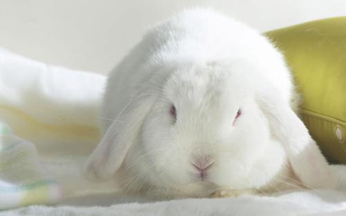 adorably cute rabbit wallpaper