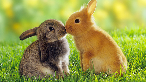 kissing bunny wallpaper