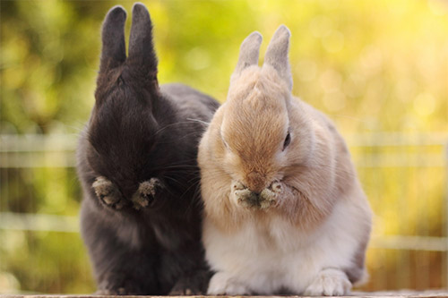 couple rabbit wallpaper