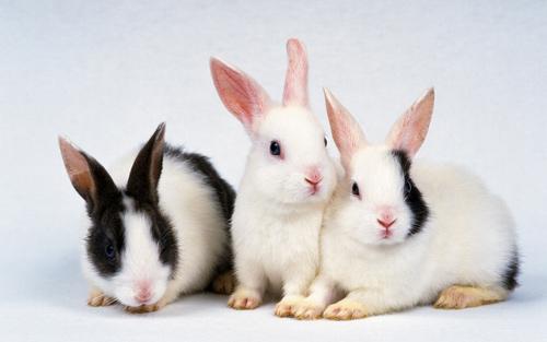 cute rabbit desktop wallpaper