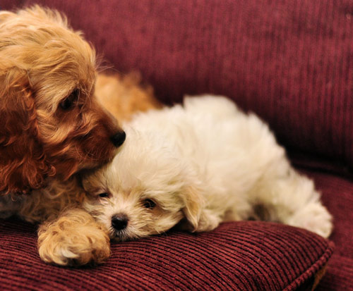 Lovely Cuddle Puppies