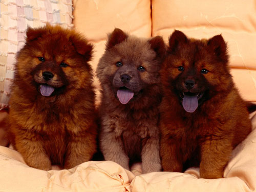 Cozy Couch Chow Chow Puppies