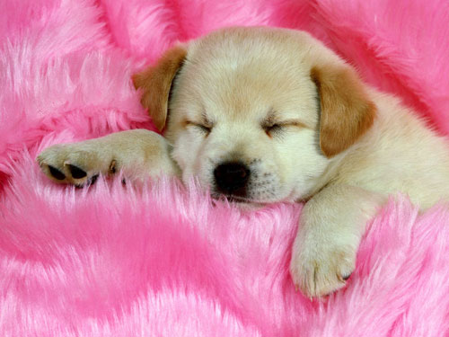 Sleeping the Day Away Puppy