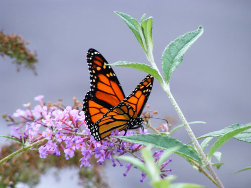 Very Natural Monarch Butterfly Wallpaper