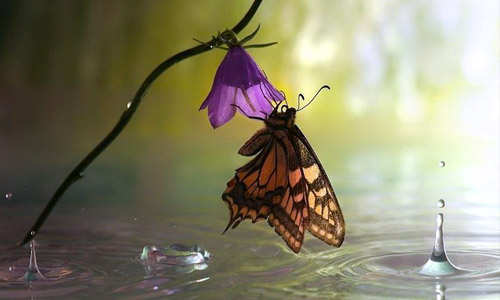 water butterfly wallpaper