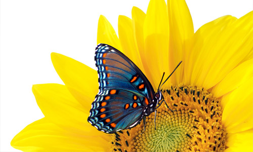 flower butterfly wallpapers