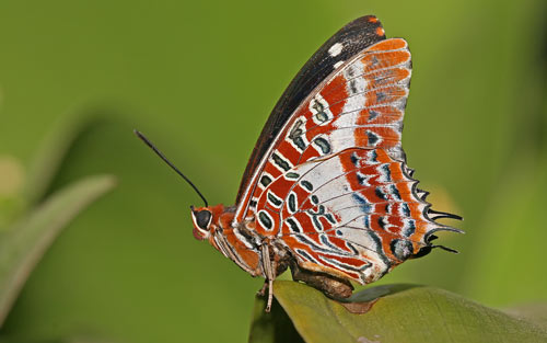 Beautiful White-Barred Emperor WP