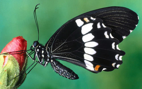 Simply Attractive Papilio Butterfly