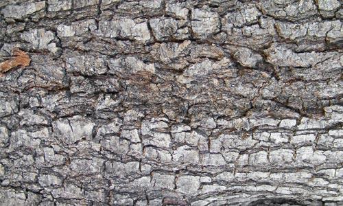Amazingly Chunky Bark Texture