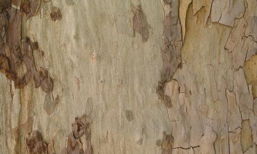 Appealing Eucalyptus Bark Texture