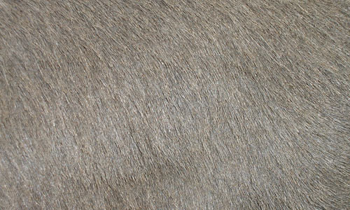 Amazingly Smooth and Fine Fur Texture