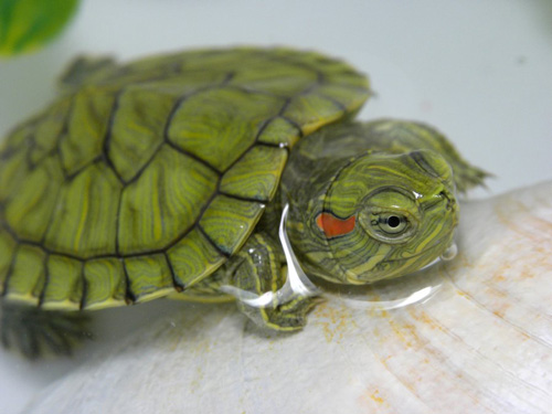 Fantastic Baby Turtle Photograph